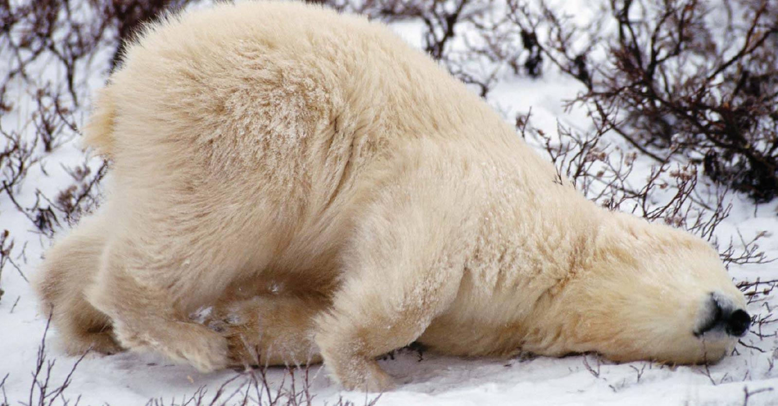 Balneum polar bear