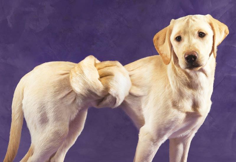 Pro-Kolin dog